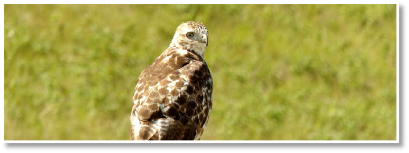 Hawk sitting on fence post at the Little Bow Lakeside Retreat in southern Alberta